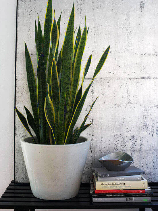 Sansevieria trifasciata suport alb ceramic carti multiple