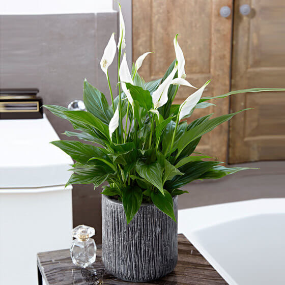 peace lily suport gri living